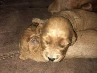 Goldendoodle Puppies for sale in Smithfield, KY 40068, USA. price: NA