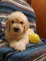 Goldendoodle Puppies for sale in Granger, WA 98932, USA. price: NA