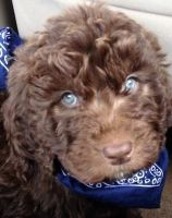 Goldendoodle Puppies for sale in Peoria, AZ 85383, USA. price: NA