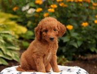 Goldendoodle Puppies for sale in Kentucky, Livonia, MI 48150, USA. price: NA