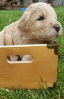 Goldendoodle Puppies for sale in Rocky Mount, VA 24151, USA. price: NA