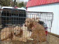 Goldendoodle Puppies for sale in Butler, OH 44822, USA. price: NA