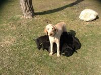 Goldendoodle Puppies for sale in Aurora, OH 44202, USA. price: NA