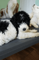 Goldendoodle Puppies for sale in Bryceville, FL 32009, USA. price: NA