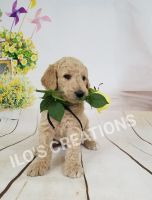 Goldendoodle Puppies for sale in Cape Coral, FL, USA. price: NA
