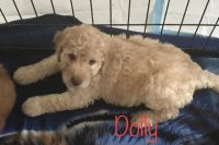 Goldendoodle Puppies for sale in Edgewater, FL, USA. price: NA