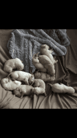 Goldendoodle Puppies for sale in Akron, OH 44319, USA. price: NA