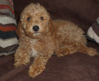 Goldendoodle Puppies for sale in Lincoln, AL, USA. price: NA
