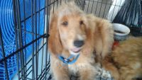 Goldendoodle Puppies for sale in Laurel, MS, USA. price: NA
