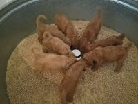 Goldendoodle Puppies for sale in Menifee, CA, USA. price: NA