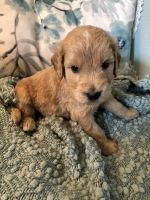 Goldendoodle Puppies for sale in Andover, KS, USA. price: NA