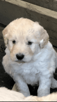 Goldendoodle Puppies for sale in Hoskinston, KY, USA. price: NA