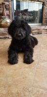 Goldendoodle Puppies for sale in Corona, CA 92883, USA. price: NA