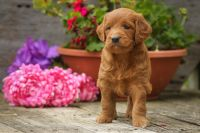 Goldendoodle Puppies for sale in Freedom, IN 47431, USA. price: NA