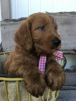 Goldendoodle Puppies for sale in Myerstown, PA 17067, USA. price: NA