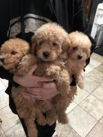 Goldendoodle Puppies for sale in Livonia, MI 48154, USA. price: NA