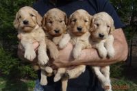Goldendoodle Puppies for sale in Bowling Green, KY, USA. price: NA