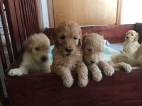 Goldendoodle Puppies for sale in Urbana, IL, USA. price: NA
