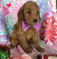 Goldendoodle Puppies for sale in SC-9, Chester, SC, USA. price: NA