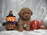 Goldendoodle Puppies for sale in Fresno, CA, USA. price: NA