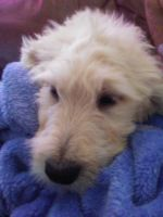 Goldendoodle Puppies for sale in Golden Valley, AZ 86413, USA. price: NA