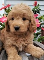 Goldendoodle Puppies for sale in Middleburg, PA 17842, USA. price: NA