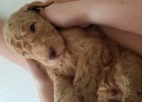 Goldendoodle Puppies for sale in Riverview, FL 33578, USA. price: NA