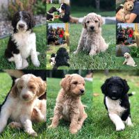Goldendoodle Puppies for sale in Duluth, MN, USA. price: NA