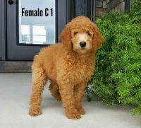 Goldendoodle Puppies for sale in Canton, OH, USA. price: NA