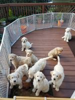 Goldendoodle Puppies for sale in Westminster, MD, USA. price: NA
