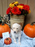 Goldendoodle Puppies for sale in Big Rapids, MI 49307, USA. price: NA