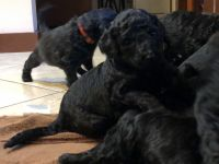 Goldendoodle Puppies for sale in Tampa, FL, USA. price: NA