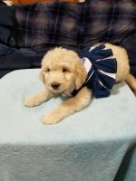 Goldendoodle Puppies for sale in Hermitage, Nashville, TN, USA. price: NA