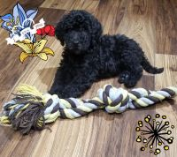 Goldendoodle Puppies for sale in Denver, CO, USA. price: NA
