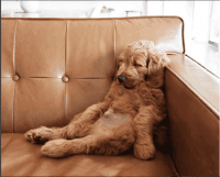 Goldendoodle Puppies for sale in Westchester, IL, USA. price: NA