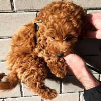 Goldendoodle Puppies for sale in Richmond, VA, USA. price: NA