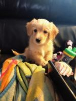 Goldendoodle Puppies for sale in New Waterford, OH 44445, USA. price: NA