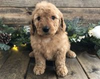 Goldendoodle Puppies for sale in Charleston, WV 25326, USA. price: NA