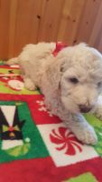 Goldendoodle Puppies for sale in Lecanto, FL, USA. price: NA