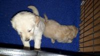 Goldendoodle Puppies for sale in California St, San Francisco, CA, USA. price: NA