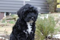 Goldendoodle Puppies for sale in Millersburg, OH 44654, USA. price: NA