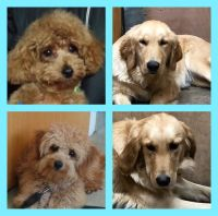 Goldendoodle Puppies for sale in Corunna, IN 46730, USA. price: NA