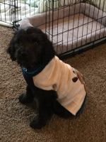 Goldendoodle Puppies for sale in Mt Sterling, KY 40353, USA. price: NA