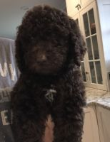 Goldendoodle Puppies for sale in Apex, NC, USA. price: NA