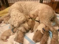 Goldendoodle Puppies for sale in Amelia, OH 45102, USA. price: NA
