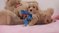 Goldendoodle Puppies for sale in Northville, MI, USA. price: NA