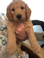 Goldendoodle Puppies for sale in Clackamas, OR, USA. price: NA