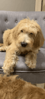 Goldendoodle Puppies for sale in Pepper Pike, OH 44124, USA. price: NA