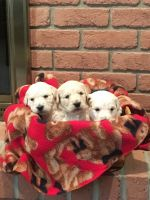 Goldendoodle Puppies for sale in Dundee, OH 44624, USA. price: NA