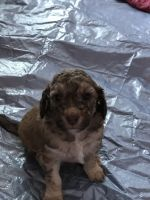 Goldendoodle Puppies for sale in Two Rivers, WI, USA. price: NA